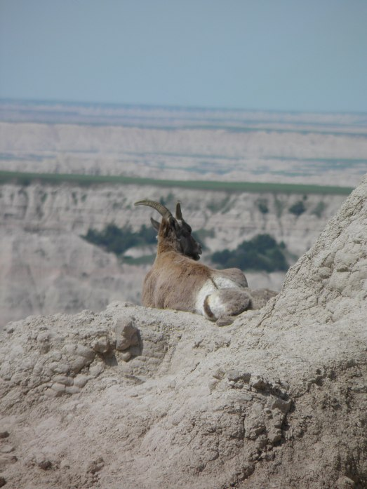A goat high up on one of the canyons